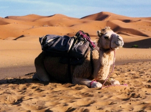 Baby camel in the Sahara Desert of Morocco.
