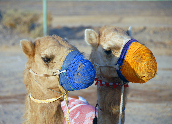 camel races , Nizwa Souk, photo courtesy of Elite Tourism, Oman